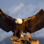 majestic-bald-eagle
